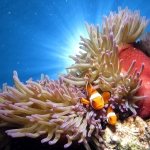 Silversonic_Clownfish